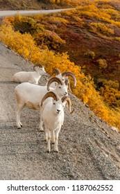 A group of curious dall sheep in Denali, Alaska