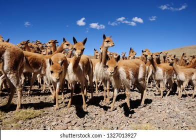 group of curious vicuñas during the traditional rodeo or Chaccu in the national reserve of Pampa Galeras Ayacucho and intense blue sky.