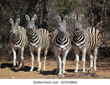 group of curious zebras