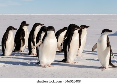 Group of cute Adelie penguins