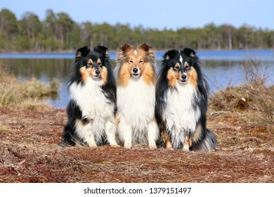 Group of cute black sable white shetland sheepdog, sheltie sitting outdoors on sunny spring day in the swamp bog forest with blue lake and sky. Amazing little collie, lassie pet dogs smiling outside