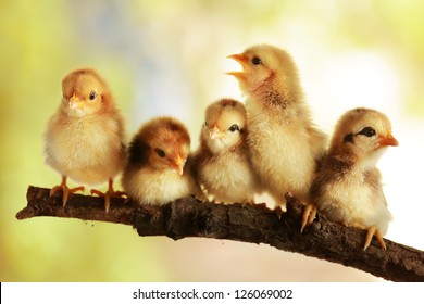 Group of cute chicks