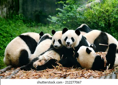 Group of cute giant panda bear eating bamboo Chengdu, China