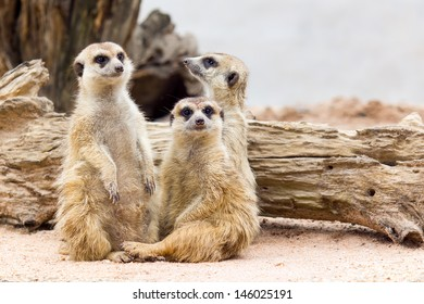Group of cute meerkat