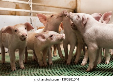 Group of cute piglets playing in modern pigpen