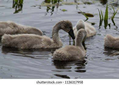 A group of cygnets with green plant life hanging out of the mouth of one of the cygnets