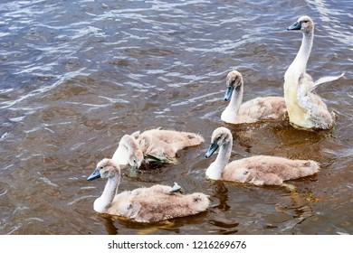 A group of cygnets huddled together in the water