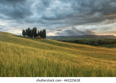 A group of cypresses in Tuscany, Italy