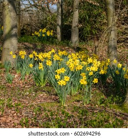 A Group Daffodils Flowering in Spring Sunshine