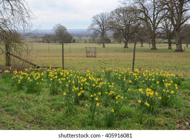 Group of Daffodils in Parkland with a Herd of Deer in the Background in the Rural Village of Batsford in the Cotswolds, Gloucestershire, England, UK