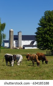 Group of dairy cows in meadow  with barn in the background