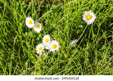 Group of daisies in the meadow grass