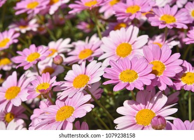Group of daisies in the sun