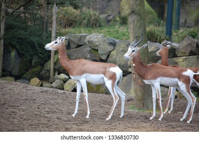 Group of Dama Gazelle (Nanger dama)