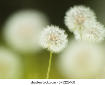 a group of dandelion puff