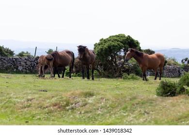 A group of Dartmoor ponies grazing in the Dartmoor National park<Devon, UK