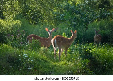 A group of deer fawns feed in the sunlight