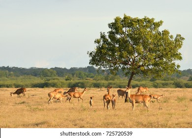Group of deer on sunset in the Baluran National Park located in East Java, Indonesia.