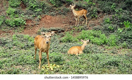 A Group of Deer Is Relaxing and Eating Food in A Deciduous Dipterocarp Forest.