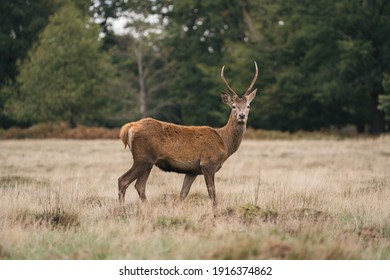 Group of deer in Richmond Park. The largest park of the royal parks in London