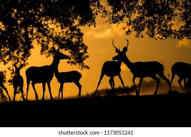 Group of deers (cervus elaphus) sunset, backlight, silhoutte
