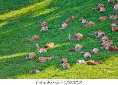 Groupe de cerfs sur le champ vert