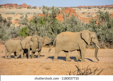 A group of desert elepants in the riverbed near Sorris Sorris in Namibia Southern Africa
