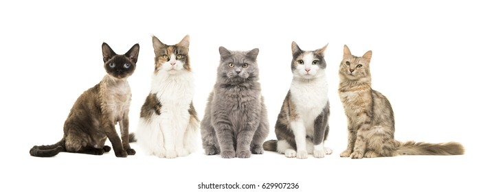 Group of different breed of cats sitting looking at the camera isolated on a white background