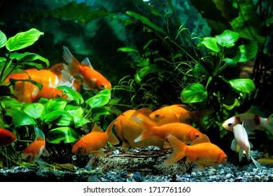 group of different goldfish, commercial aqua trade breed of wild Carassius auratus carp, bright orange coloration captive fish, favourite pets in nature planted tank
