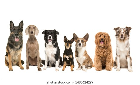 Group of different kind of breeds of adult dogs sitting looking at the camera isolated on a white background