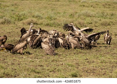 Group of different species of vultures eating a dead wildebeest