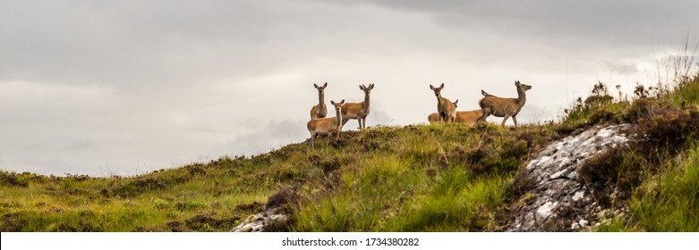 group of doe standing and looking in the scottish highlands, United Kingdom on a cloudy day.Colorful widescreen panorama