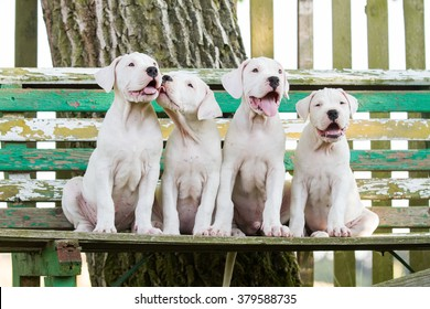 group of dogo argentino puppy