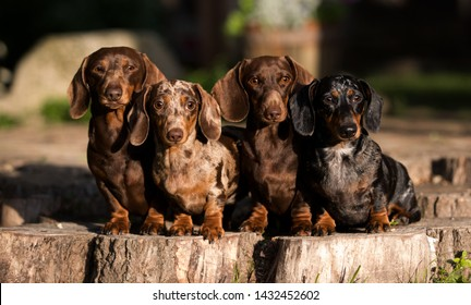group  Dogs dachshunds  , dog portrait