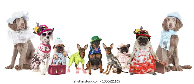 Group of dogs of different breeds dressed in clothes isolated on a white background