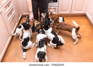 Group of dogs is hand fed - many obedient Jack russell terrier doggies indoors