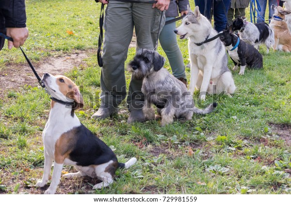 Group of dogs with owners at obedience class. Queue of dogs in diagonal, beagle and shnauzer on the front line.