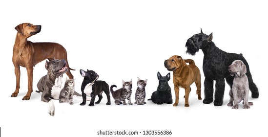 Group of dogs , Portrait of standing in profile Giant Schnauzer