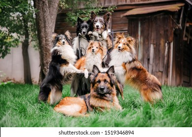 Group of dogs together. Six dogs are sitting on the grass. German Shepherd. Border Collie. Sheltie (Shetland Sheepdog)