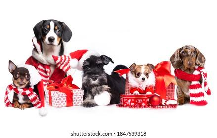 chiens de groupe portant un chapeau de Père Noël, chiens de Noël