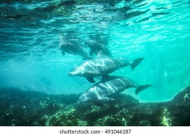 Group of dolphins swim and play in a pool. Dolphin underwater sea background.