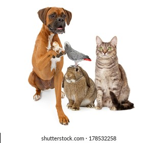 A group of domestic animals consisting of a Boxer dog holding a lizard, a bunny rabbit with a parrot on his head and a gray striped tabby cat