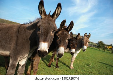Group of donkeys in field looking to camera