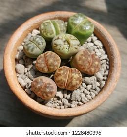 Group of Dorotheae Lithops plants in little pot. Succulent plants.