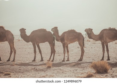 Group of dromedaries and camels guided by man walking through the desert of Morocco in the early morning