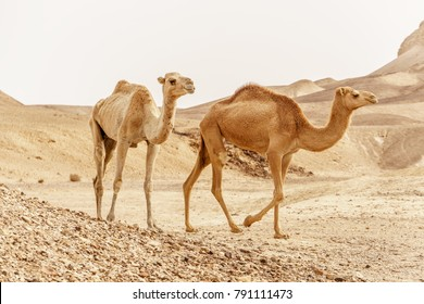 Group of dromedary camels walking in wild desert heat nature. Sandy wilderness morning