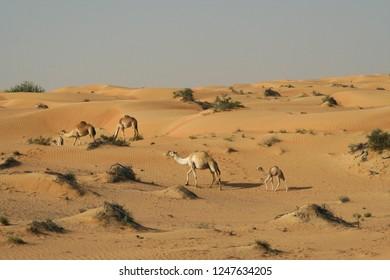 group of dromedary in desert of Oman