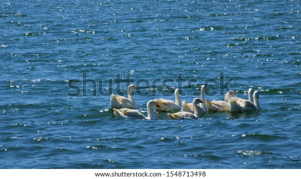 Group Duck at back water of Pawana Dam
