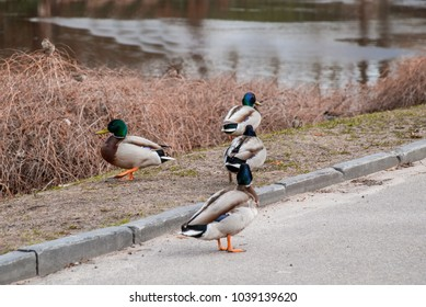 a group of duck resting on the pedestrian sidewalk.