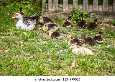 Group of Ducklings with their mother, outdoors